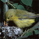 A yellow warbler feeding her young in their nest in Prince Albert National Park.