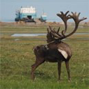 A bull caribou observes the clean-up team as they prepare to ship out from Stokes Point.