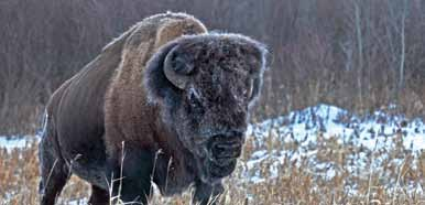Wood Bison in Elk Island National Park of Canada
