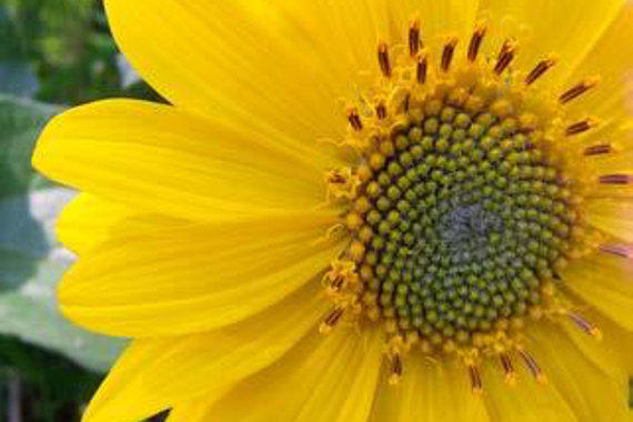 Close-up of a bright yellow flower (deltoid balsamroot).