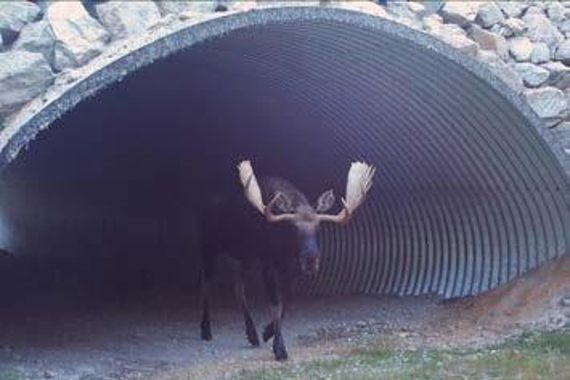 A moose emerging from a highway underpass.