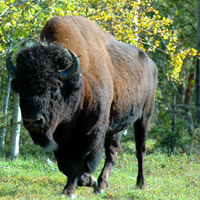 A male Wood bison