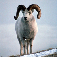 Dall sheep ram with large curved horns.