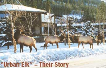 Urban Elk - Their Story