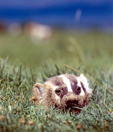 Badger lying in the grass