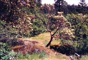 Garry oak forest