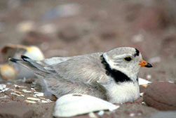 Piping plover on nest