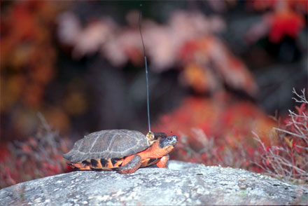 Wood turtle on a rock