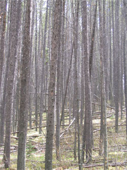 Photograph showing a Doghair Pine forest in Banff National Park