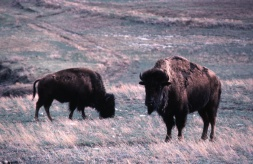 Bison grazing on prairie grasses