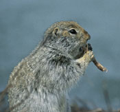 Arctic ground squirrel, one of the few permanent residents of the landmark