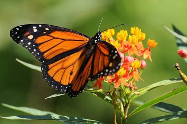 Milkweed plant and a butterfly