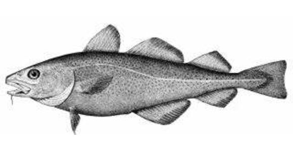 Cod fish drawing, Battle of the Restigouche National Historic Site