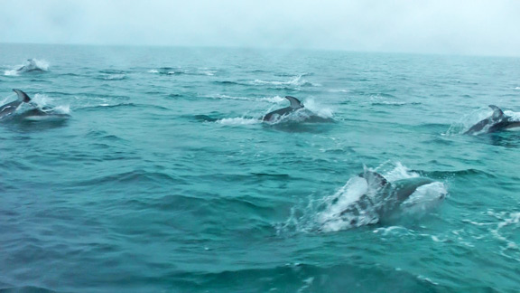 Cute, playful and smart - what more can you ask for in a travel companion? Parks Canada staff in Gwaii Haanas were lucky enough to capture this amazing springtime dolphin stampede on camera. Pacific white-sided dolphins are extremely active, and sometimes approach boats to