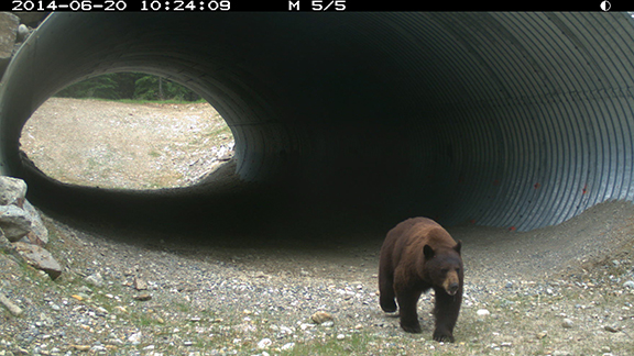 It can take years for wildlife to adapt to new crossing structures like this one in Kootenay National Park. Yet the first spring after it opened we spotted this... the very first bear! 