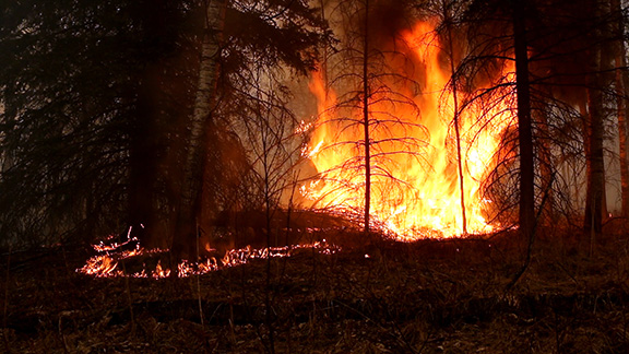 Prescribed fire is used in Prince Albert National Park, Saskatchewan, to improve rare fescue grasslands, a habitat favoured by wild plains bison. There are three critical steps when using prescribed fire that are described in the video