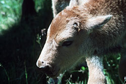 Close-up of the head of a young Wood Bison calf.