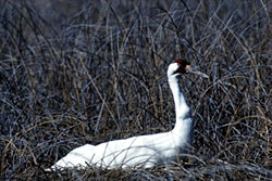 Whooping crane resting in tall grass in Wood Buffalo National Park of Canada.