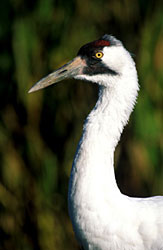 Close-up of the head of a Whooping crane.