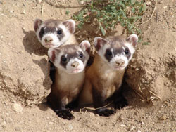 Three young Black-footed Ferrets poking their heads out of a burrow entrance.