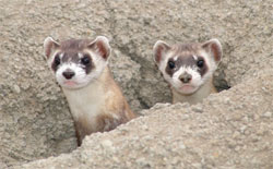 Two Black-footed Ferrets peering out of the entrance to a burrow.