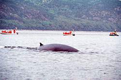 Close-up view of a whale with whale watching boat tours in the background.