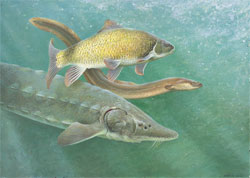 A painting of a Copper Redhorse, an American Eel and a Lake Sturgeon.