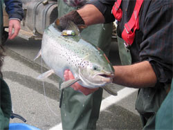 Inner Bay of Fundy salmon with an acoustic tag being held by a researcher.