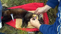 Radio-collaring an immobilized Newfoundland Marten.