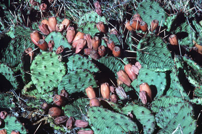 Eastern Prickly Pear Cactus