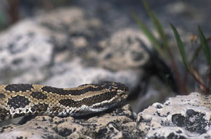 Close-up of a massasauga's head.