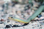 Eastern Yellow-bellied Racer