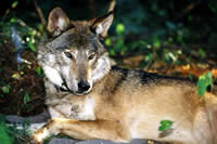 Eastern Wolf – of La Mauricie National Park of Canada