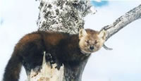 Newfoundland Marten in a tree.