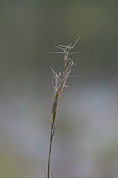 Close up on the mature spike