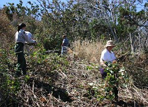 Volunteers and Parks Canada personnel removing Himalayan blackberry, an exotic invasive species, on a small island in Gulf Islands National Park Reserve