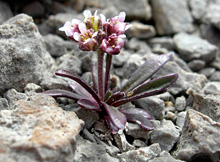 The Fernald's braya grows nowhere in the world but on thecoastal limestone barrens of northwestern Newfoundland