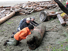 Park staff and volunteers clearing beach logs from Pink Sand-verbena critical habitat at Clo-oose Bay