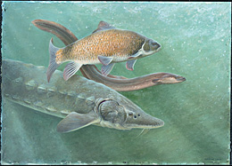 The lake sturgeon, American eel, and copper redhorse are three species present in the Richelieu River