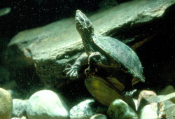 Close-up of a Stinkpot turtle standing on a shell in shallow water