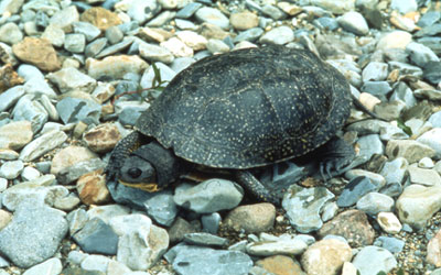 Blanding's Turtle, Nova Scotia population