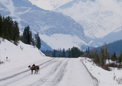 Woodland Caribou on the road
