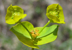 Leafy Spurge © Parks Canada