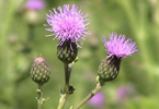 Canada Thistle © Parks Canada