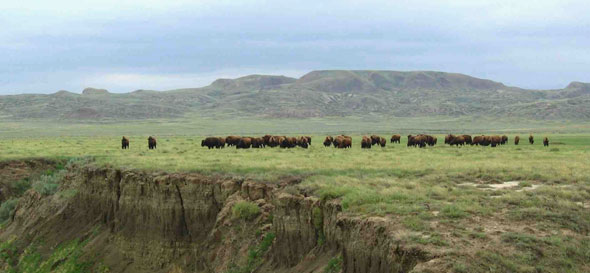 Bison herd in Grasslands National Park