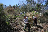 A restoration team removes invasive shrubs and alien plants from the site