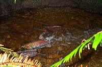 Spawning coho salmon in restored stream