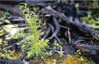 Small green Pine and Spruce seedlings in the foreground with a charred black stump in the background