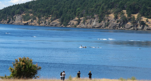 People on land looking out at several killer whales offshore