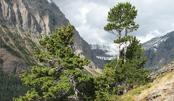 Healthy whitebark pine trees in Waterton Lakes National Park